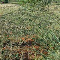 Eragrostis elliottii
