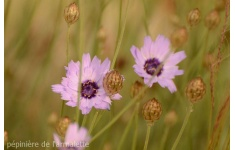 catananche-coerulea--3