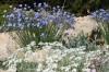 achillea-ageratifolia-&-linum-perenne-jpg.jpg