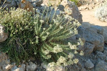 Achillea teretifolia