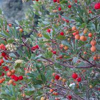 Arbustus unedo