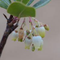 Arbustus x andrachnoides