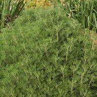 Artemisia alba