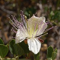 Capparis spinosa