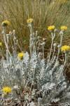 centaurea-ragusina-3.jpg