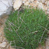 Dianthus noeanus