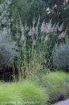 erianthus-ravenae--pennisetum-karley-rose-5.jpg