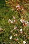 gaura-lindheimeri-gp-fleur.jpg