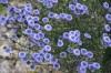 globularia-alypum--v.jpg