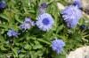 globularia-trichosantha--1.jpg