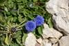 globularia-trichosantha--2.jpg