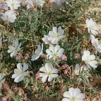 Oenothera  califonica subsp.californica