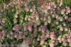 origanum-kent-beauty-2.jpg