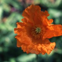 Papaver atlanticum