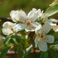 Rosa banksiae var.normalis