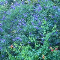 Vitex agnus-castus var.latifolia